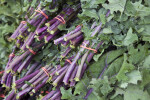 Red Russian Kale Stems