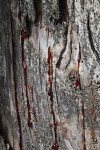 Red Sap Dripping from Bark of Tree