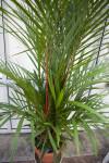 Red Sealing Wax Palm  (Cyrtostachys renda)