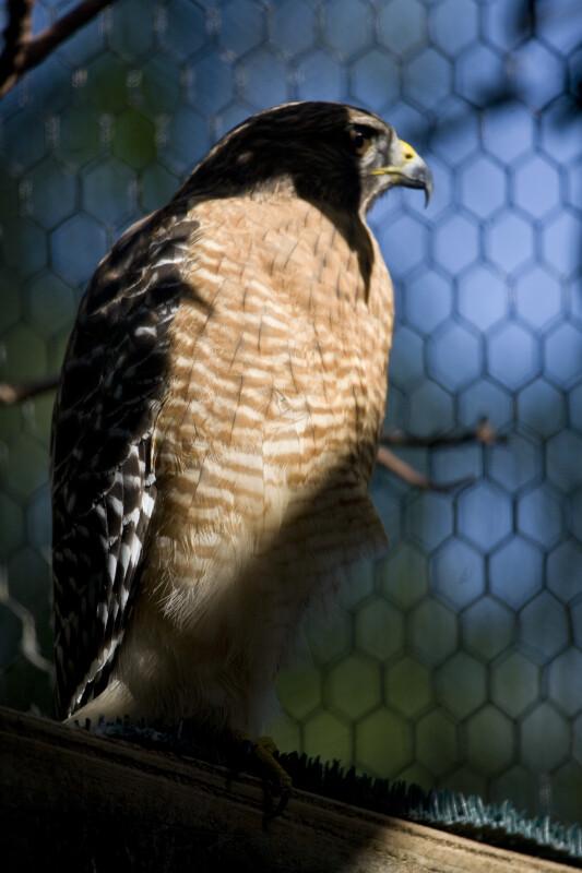 Red-Shouldered Hawk Close-up
