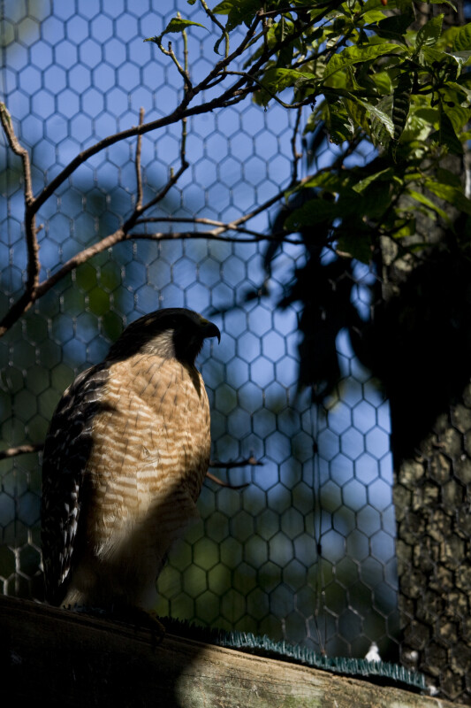 Red-Shouldered Hawk in the Shade