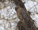 Red-Shouldered Hawk Looking at the Ground