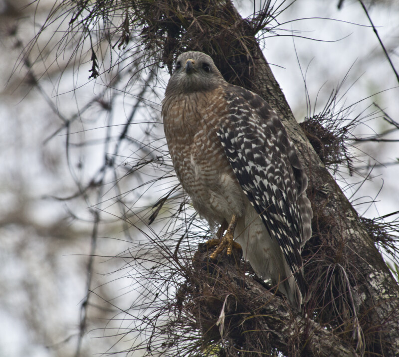 Red-Shouldered Hawk Looking off into the Distance