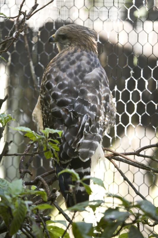 Red-Shouldered Hawk on Branch