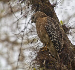 Red-Shouldered Hawk Perched on Tree Branch