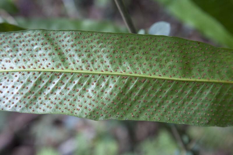 Red Spores on the Underside of a Fern Leaf