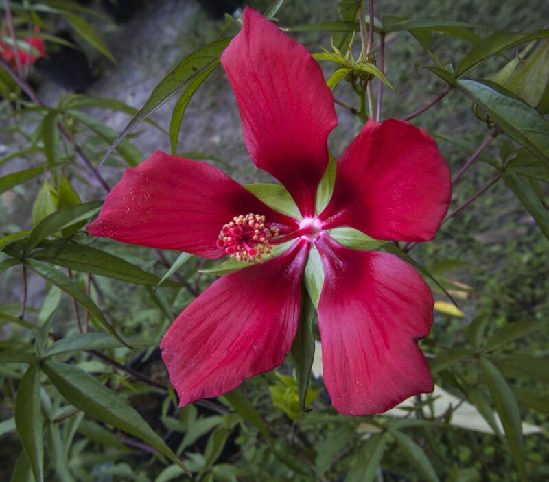 Red Swamp Hibiscus Flower