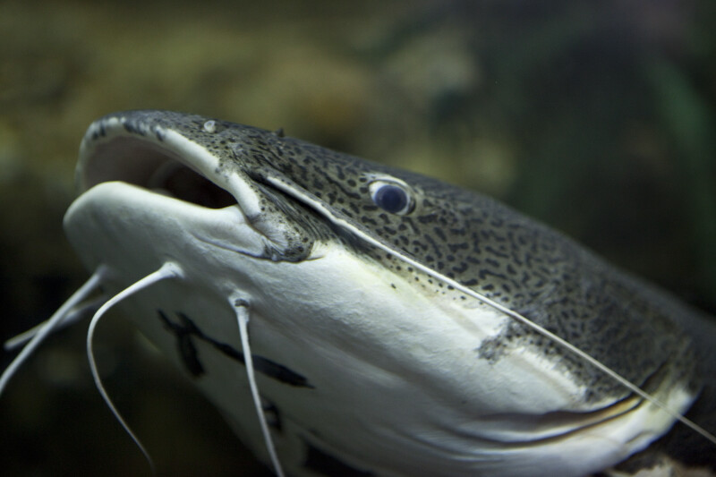 Red-Tailed Catfish Close-up