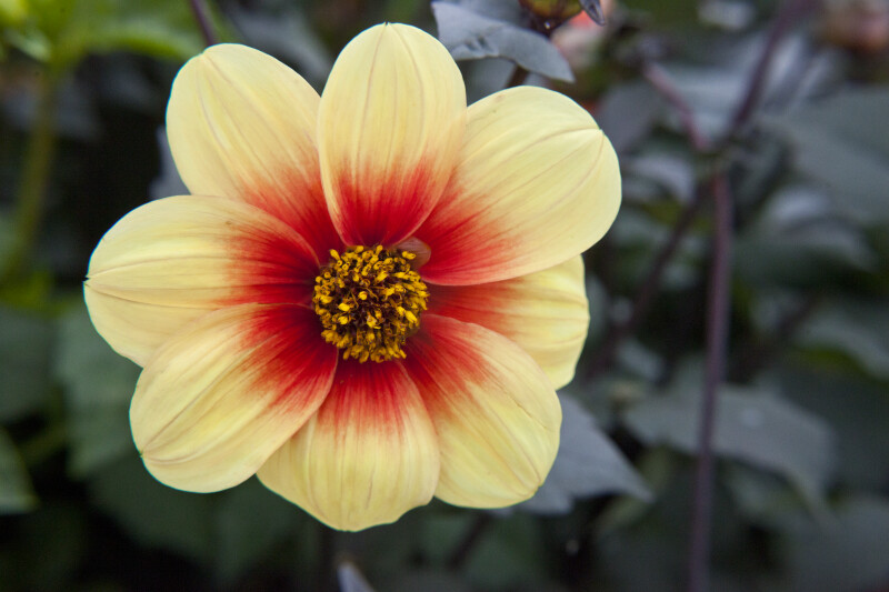 Red-Yellow Hybrid Dahlia Flower