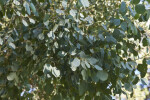 Redbox Gum Leaves