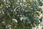 Redbox Gum Leaves