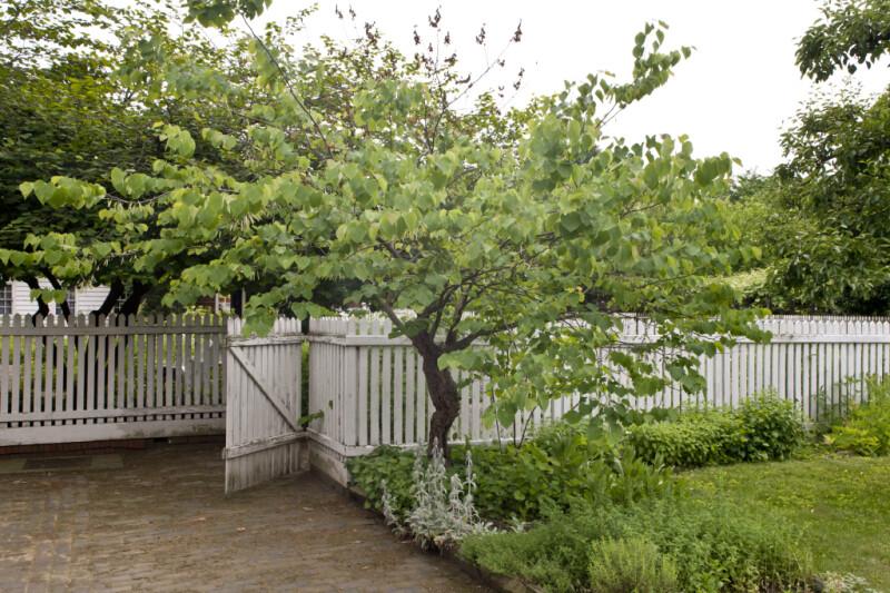Redbud Tree near White Fence at Old Economy Village