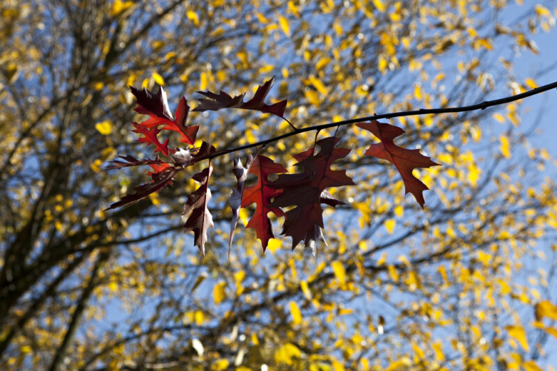 Reddish-Brown Oak Leaves on a Branch at Evergreen Park