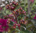 Reddish-Brown Plant