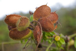 Reddish-Brown Seed Pods with Spines