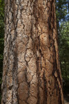 Reddish-Brown Tree Bark