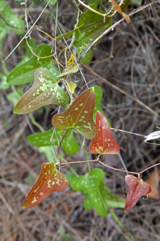 Reddish-Green, Rounded, Arrowhead-Shaped Leaves