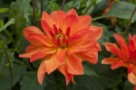 Reddish-Yellow Hybrid Dahlia Flower