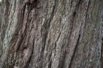 Redwood Bark Detailed View