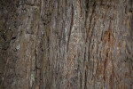 Redwood Smooth Bark
