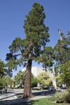 Redwood Tree near a Sidewalk at Capitol Park in Sacramento