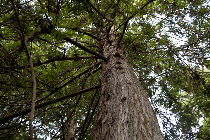 Redwood Trunk and Branches