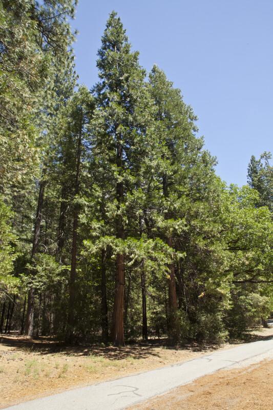 Redwoods near a Footpath