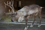 Reindeer Walking