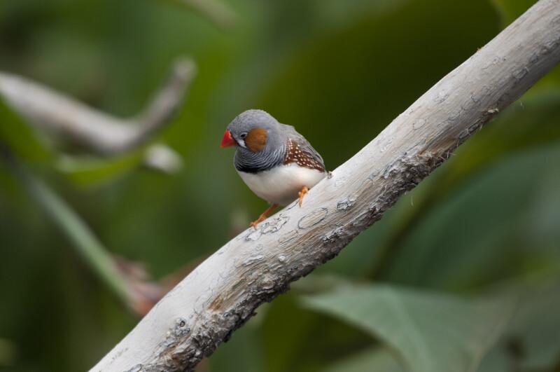 Resting Finch