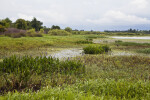 Restored freshwater marsh at Circle B Bar Reserve