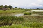 Restored freshwater marsh at Circle B Bar Reserve