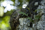 Resurrection Fern and Lichen