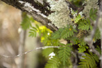 Resurrection Fern (Close-Up)