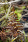 Resurrection Fern (Dry)