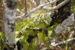 Resurrection Fern (Living)