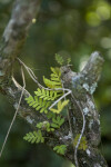 Resurrection Fern on Small Branch