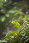 Resurrection Ferns Along the Gumbo Limbo Trail at Everglades National Park