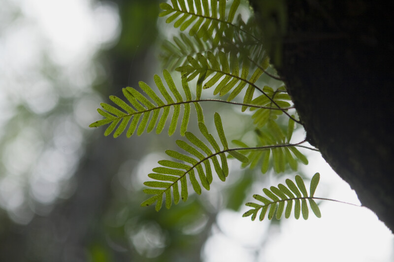Resurrection Ferns Displaying Small, Circular Spores