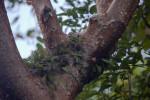 Resurrection Ferns Growing in Gumbo-Limbo Trees