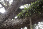 Resurrection Ferns Growing on a Tree Branch