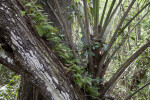 Resurrection Ferns Growing on Branch of Tree