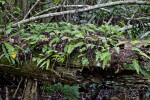 Resurrection Ferns Growing on Log