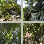 Resurrection ferns photographs