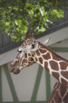 Reticulated Giraffe with Ears Cocked Behind Head