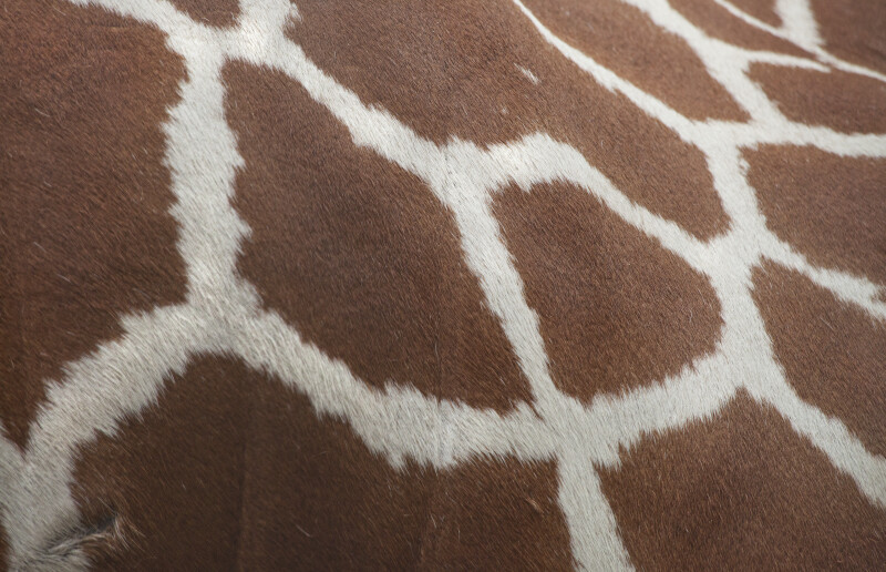 Reticulated Giraffe's Fur
