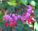 Rex Begonia Vine Flowers