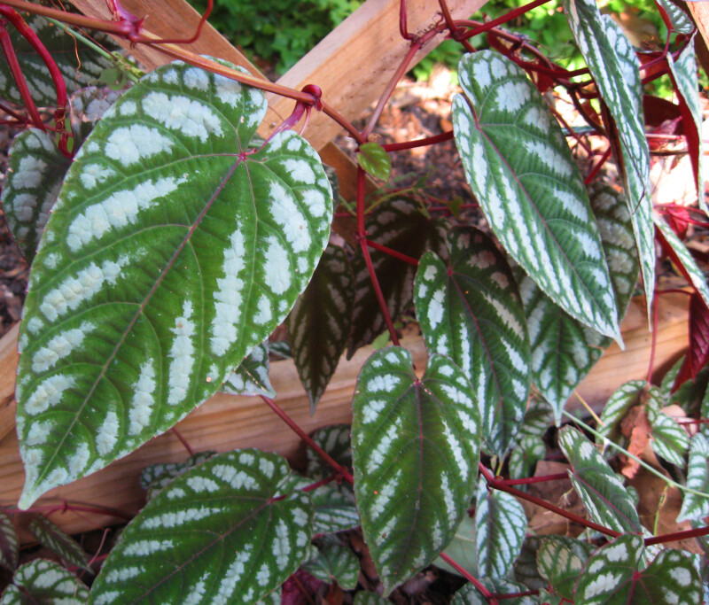 Rex Begonia Vine Leaves
