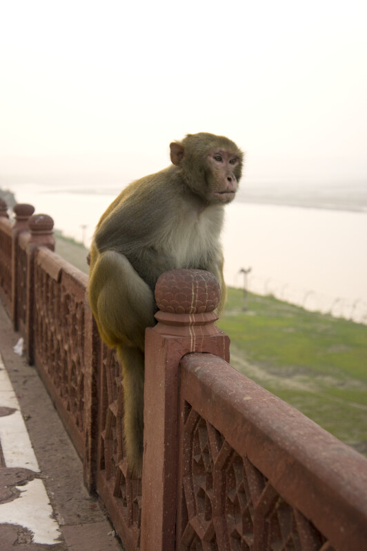 Rhesus Monkey at the Taj Mahal