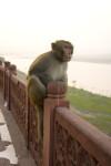 Rhesus Monkey at the Taj Mahal