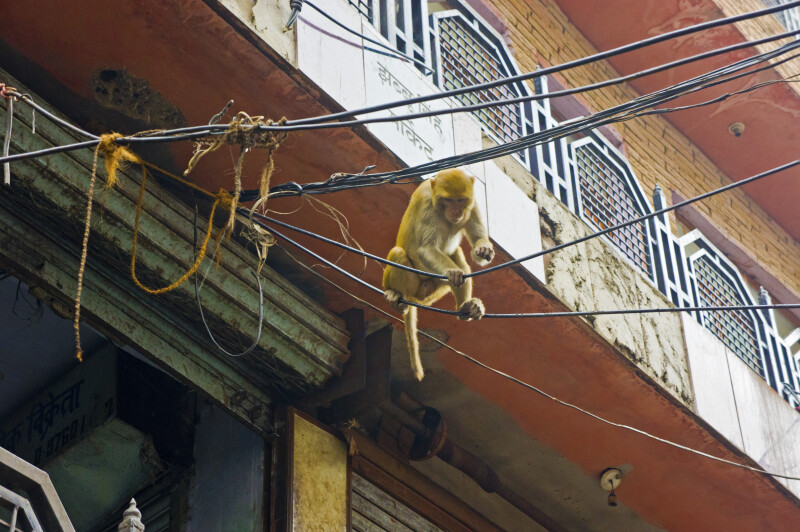 Rhesus Monkey on Power Lines